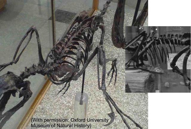 Another vodrom, Bambiraptor, is also said by some to be unable to raise it's arms high, but the humerus here has been reconstructed very high. Just as with Microraptor, many claim this was impossible, but no-one knows the soft tissue details.