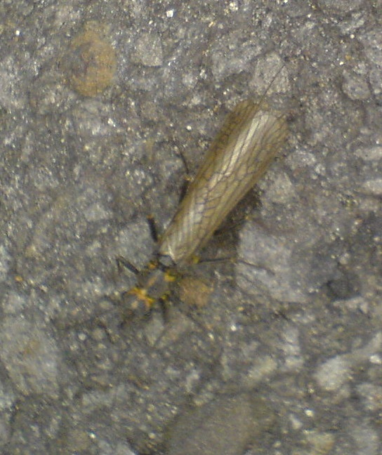 My stonefly.  It was just over an inch long - i.e. nearly 3cms.