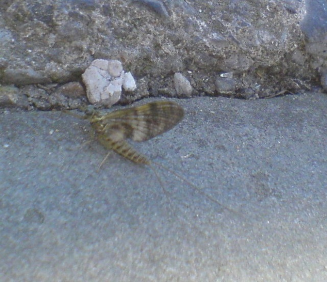 Or at least I'm guessing it's a mayfly!  (June version)