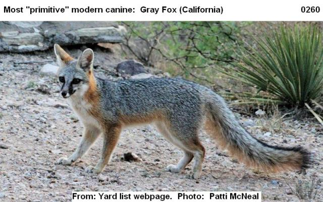0260 Gray fox 2