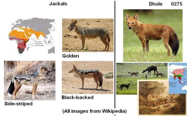 0275 jackals and dhole 02